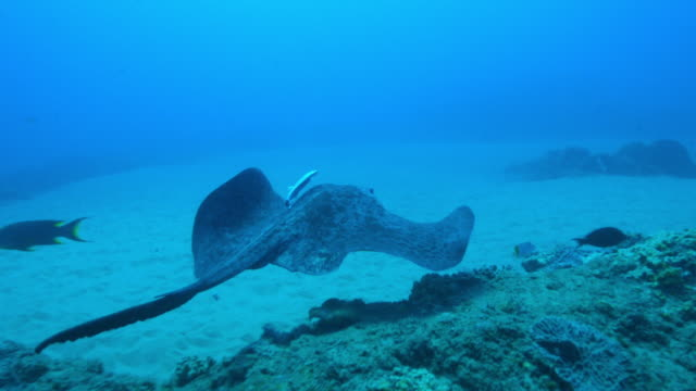 underwater ms track with stingray swimming over reef with remora attached then swimming away  - stingray stock videos and b-roll footage