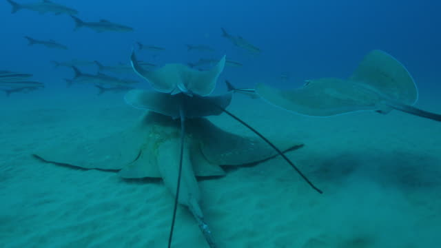 vidéos et rushes de underwater track with stingrays swimming on seabed with one riding on larger small eyed stingray and cobia fish around them - himantura poisson