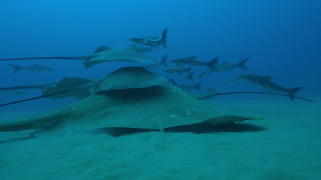 underwater track with stingrays swimming on seabed with one riding on larger small eyed stingray and cobia fish around them - stingray stock videos and b-roll footage