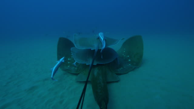 Underwater CU track with wing of Small eyed Stingray swimming with Stingrays riding on top and Remoras on wing