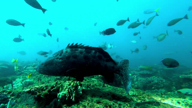 underwater tracking of a large spotted black grouper fish swimming along a coral reef with blue water and abundant sea life - exmouth, australia - submarine stock videos & royalty-free footage