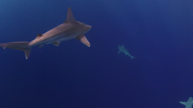 underwater tracking shot of a galapagos shark - galapagos shark stock videos & royalty-free footage