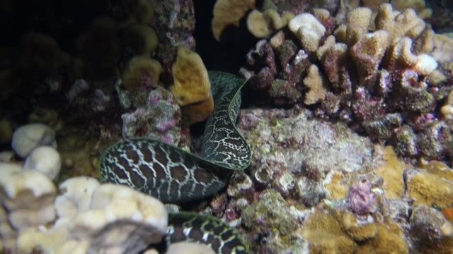 underwater: undulated moray eel swimming in amazing coral reef - moray eel stock videos & royalty-free footage