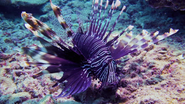underwater venemous lionfish aka zebra fish (pterois volitans) - appuntito video stock e b–roll