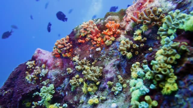 Underwater vibrant coral reef with Orange Cup Coral (Tubastraea coccinea)