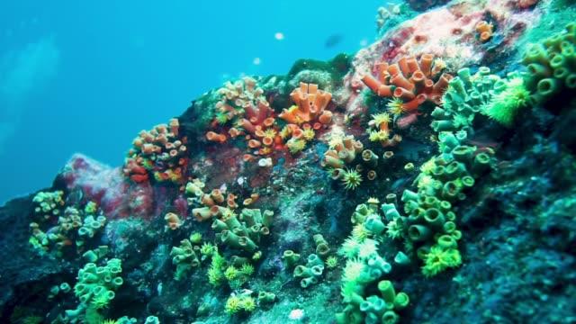 vídeos de stock e filmes b-roll de underwater vibrant coral reef with yellow cup coral (tubastraea coccinea) - acidificação dos oceanos