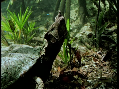 mcu underwater view, alligator snapping turtle raises head and yawns, south america - south america stock videos & royalty-free footage