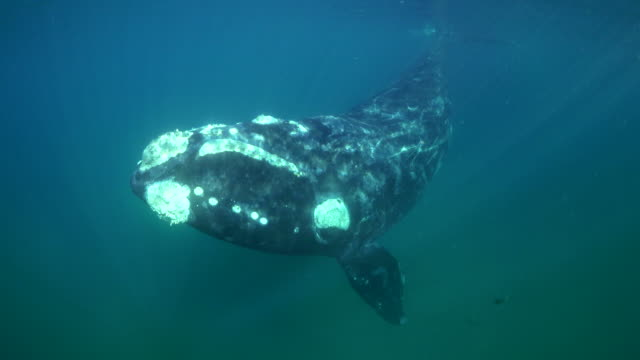 underwater view of a juvenile southern right whale swimming towards the camera as it surfaces to breathe, nuevo gulf, valdes peninsula, argentina. - whale stock videos & royalty-free footage