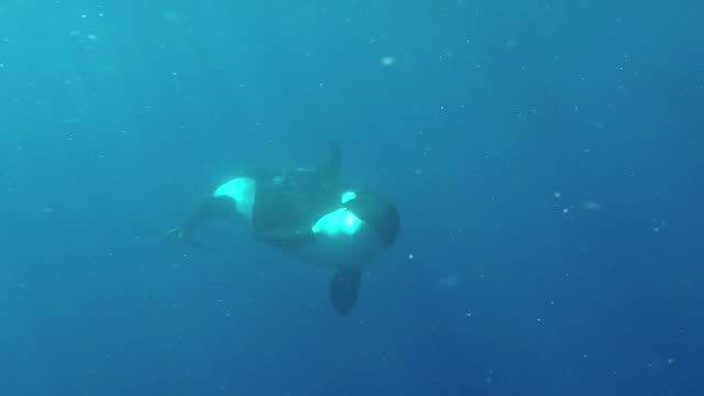 underwater view of a killer whale swimming to the camera, north island, new zealand. - orca video stock e b–roll