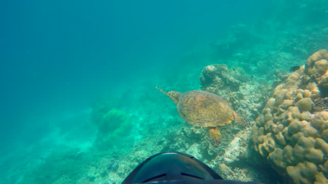 pov underwater view of a maldivian sea turtle swimming over a coral reef. - goodsportvideo stock videos and b-roll footage
