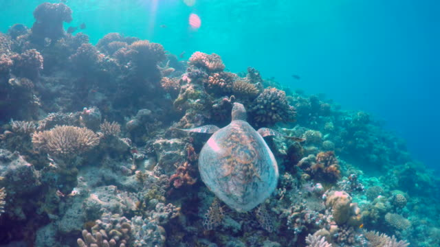 underwater view of a maldivian sea turtle swimming over a coral reef. - goodsportvideo stock videos and b-roll footage