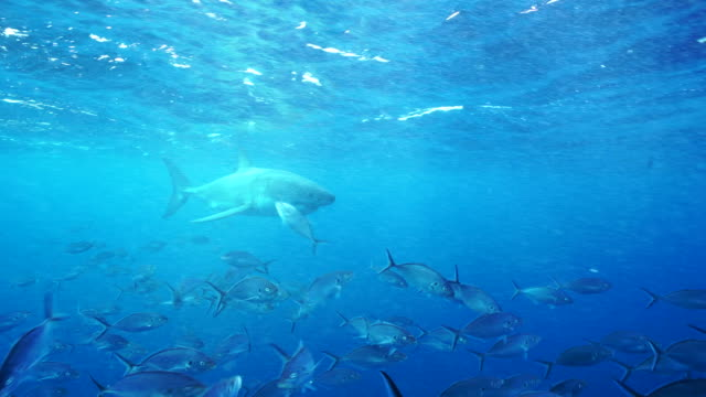 Underwater view of a male great white shark swimming in over a large school of trevally to inspect bait on the surface, South Neptune Islands, South Australia.