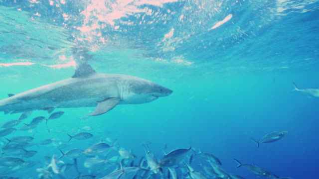 Underwater view of a male great white shark swimming very close in front of the camera at the surface amongst a school of trevally, South Neptune Islands, South Australia.