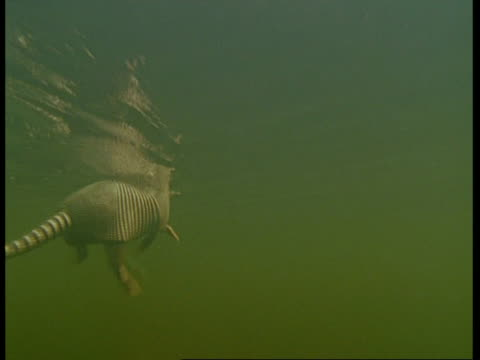 MS Underwater view of Armadillo swimming through water, South America