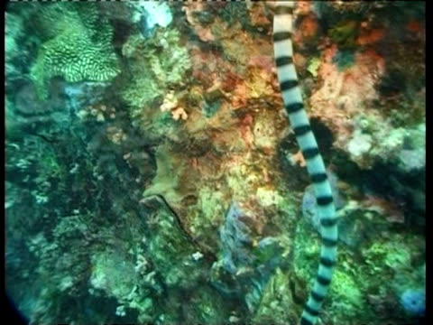 MS underwater view of Banded sea snake, Australia