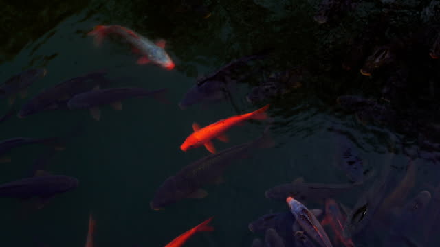 Underwater view of carps in reservior of Jinhae NFRDI Environment Eco-Park