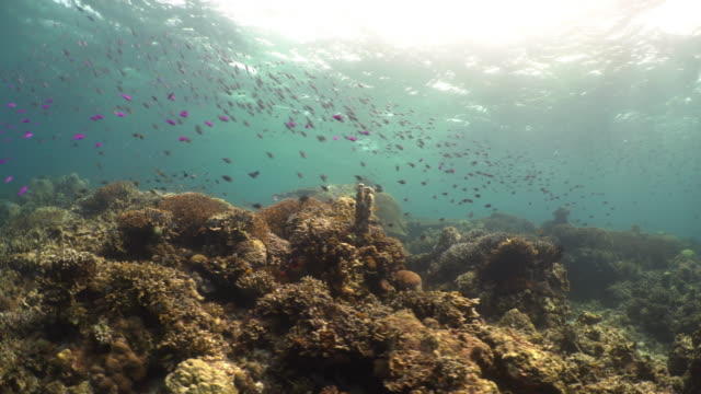 vídeos de stock, filmes e b-roll de underwater view of coral reef and school of fish / bohol island, the philippines - coral cnidário