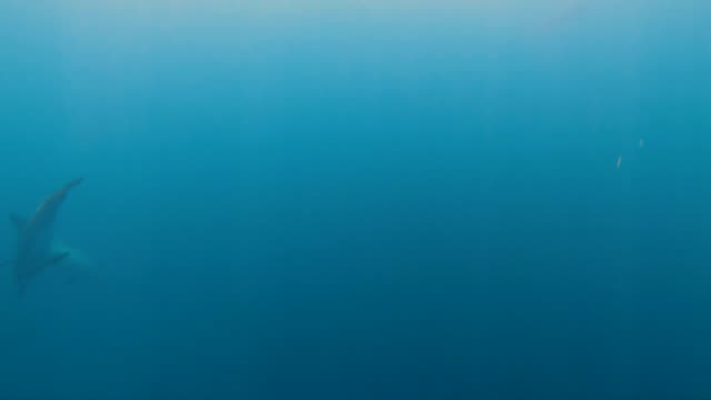 vídeos de stock, filmes e b-roll de underwater view of dolphins swimming south pacific tahiti - south pacific ocean