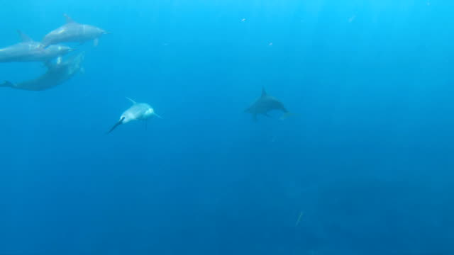 vídeos de stock, filmes e b-roll de underwater view of dolphins swimming south sea tahiti - south pacific ocean