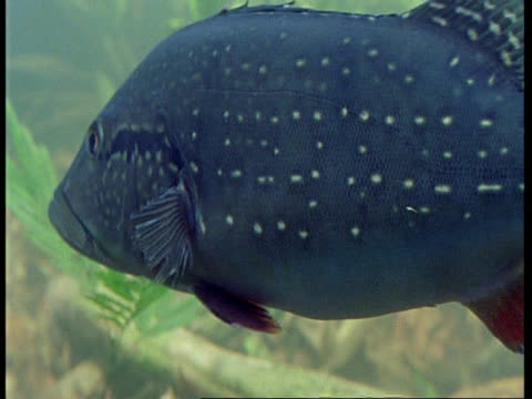 cu underwater view of fish, south america - cinque animali video stock e b–roll