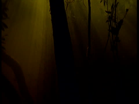 ms underwater view of flooded forest, tilt up from dark depths to sunlight at surface, south america - thick stock videos & royalty-free footage