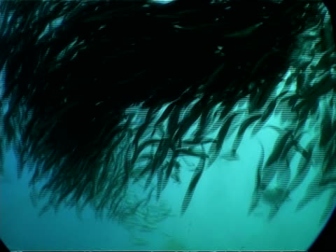 stockvideo's en b-roll-footage met ms underwater view of gannets and common dolphins, attacking large ball shoal of sardines, south africa - common dolphin