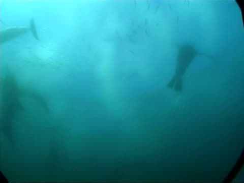 MS underwater view of Gannets, Common dolphins, and fur seals attacking large ball shoal of Sardines, South Africa