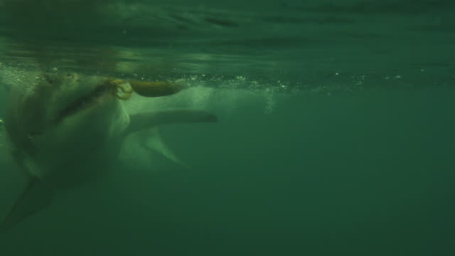 Underwater view of great White taking bait