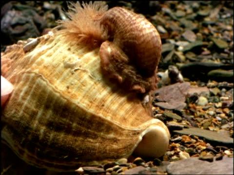 cu underwater view of hermit crab, eupagurus bernhardus, with anemone and whelk shell on back on stoney ground, united kingdom - symbiotiskt förhållande bildbanksvideor och videomaterial från bakom kulisserna
