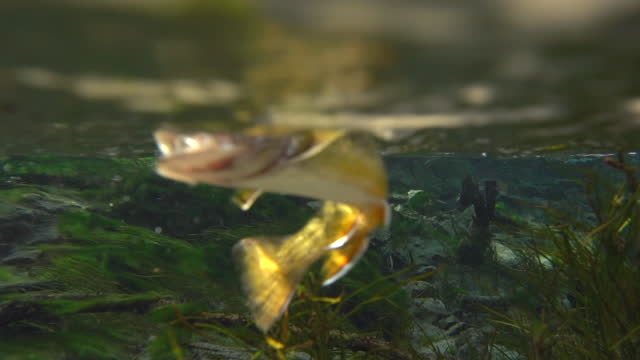 Underwater view of hooked brook trout swimming in clear stream