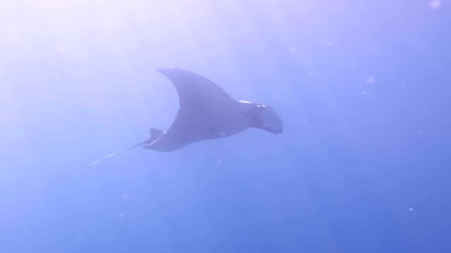 underwater view of hovering giant oceanic manta ray ( manta birostris ). - manta ray stock videos & royalty-free footage