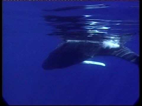 stockvideo's en b-roll-footage met ms underwater view of humpback whale, megaptera novaeangliae, swimming on its side, tonga - cetacea