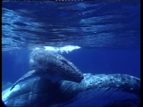 stockvideo's en b-roll-footage met ms underwater view of humpback whale, megaptera novaeangliae, swimming with young, tonga - cetacea