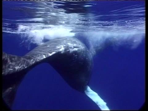 MS underwater view of Humpback Whale, Megaptera novaeangliae, swims past camera, Tonga