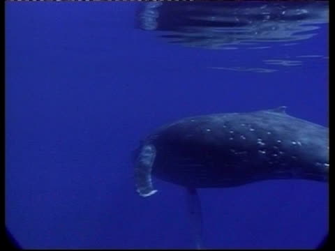 stockvideo's en b-roll-footage met ms underwater view of humpback whale, megaptera novaeangliae, swims past camera, tonga - cetacea