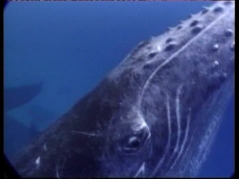 stockvideo's en b-roll-footage met cu underwater view of humpback whale, megaptera novaeangliae, swims past camera, close up of eye, tonga - cetacea