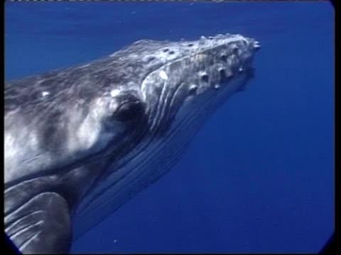 CU underwater view of Humpback Whale, Megaptera novaeangliae, swims past camera, close up of eye, Tonga