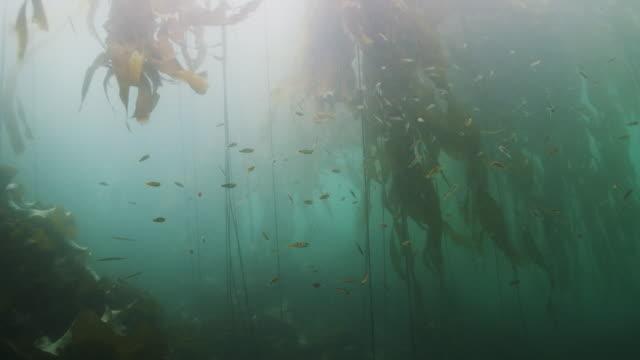 underwater view of kelp forest - kelp stock videos & royalty-free footage