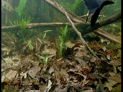 MS Underwater view of large catfish swimming to and past camera, Amazon