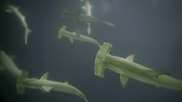 underwater view of large school of hammerhead sharks swimming in murky water from above - galapagos islands, ecuador - galapagos islands stock videos & royalty-free footage