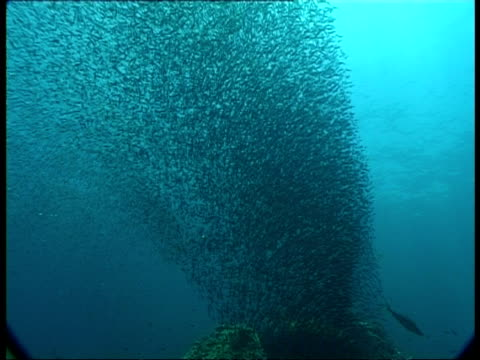 ms underwater view of large shoal of fish swimming in formation, egypt - fischschwarm stock-videos und b-roll-filmmaterial