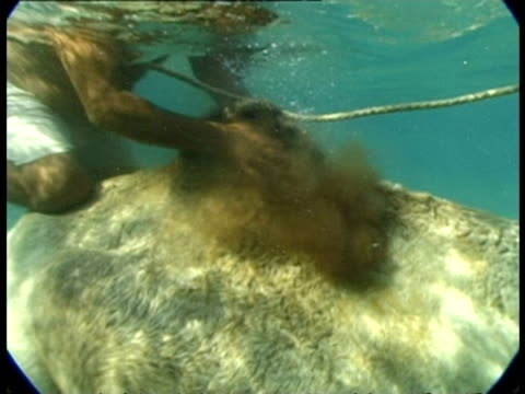 vidéos et rushes de ms underwater view of man washing camel hump, egypt - mammifère