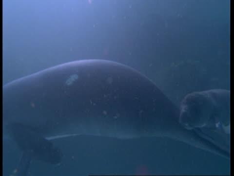 vídeos y material grabado en eventos de stock de ms underwater view of manatee mother and calf swimming together, south america - organismo acuático