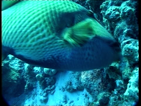 ms underwater view of parrot fish eating coral, australia - ブダイ点の映像素材/bロール