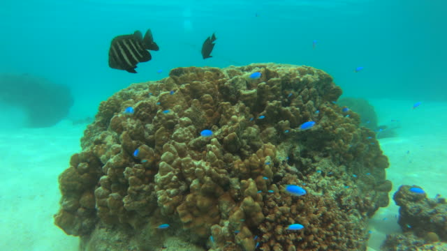 underwater view of scuba diving in moorea tropical island with blue fish and reef. - フランス海外領点の映像素材/bロール