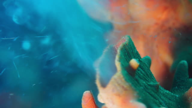underwater view of sea squirt reproducing near the dmz (demilitarized zone between south and north korea), goseong-gun - close up squirt stock-videos und b-roll-filmmaterial