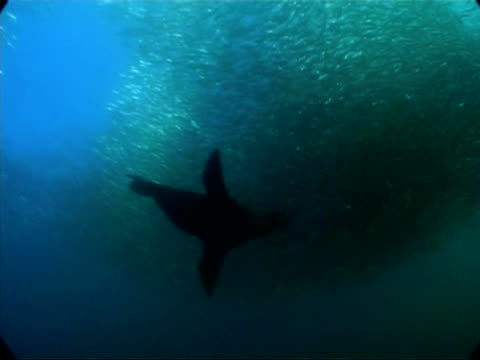 vídeos y material grabado en eventos de stock de ms underwater view of seal attacking large ball shoal of sardines, south africa - foca peluda del cabo