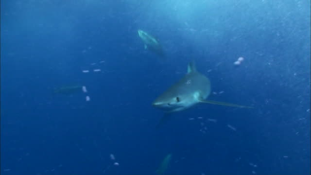underwater view of shark swimming among tunas near port lincoln, south australia - animal fin stock videos and b-roll footage