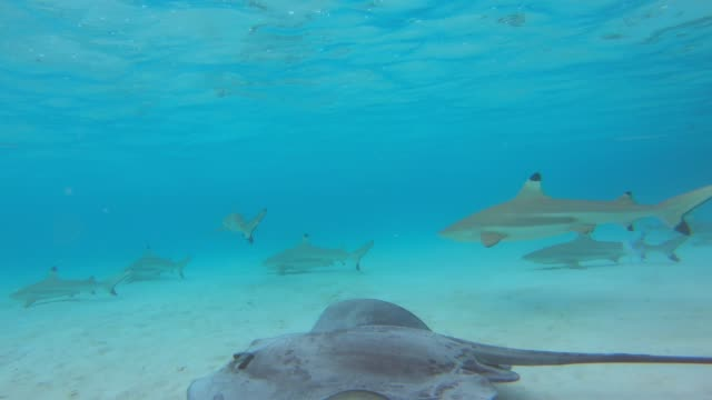 underwater view of snorkeling in moorea tropical island with blacktip sharks and stingrays. - stechrochen stock-videos und b-roll-filmmaterial