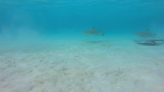 vídeos de stock e filmes b-roll de underwater view of snorkeling in moorea tropical island with blacktip sharks and stingrays. - tubarão galha preta